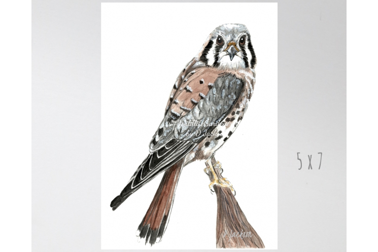 American Kestrel, Sparrow Hawk Watercolor Art Print 5 x 7