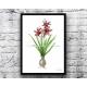 Red Christmas Amaryllis Flower Botanical Watercolor Art Print