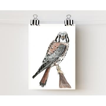 American Kestrel, Sparrow Hawk Watercolor Art Print 5 x 7