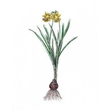 Yellow Daffodil watercolor art print, minimalist botanical floral wall art