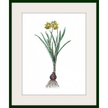 Spring daffodil floral watercolor art print, botanical art