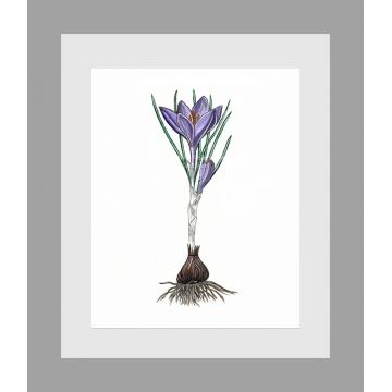 Purple Crocus Watercolor Art Print