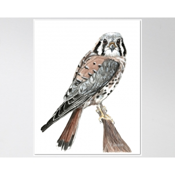 American Kestrel, Sparrow Hawk Watercolor Art Print, 11 x 14