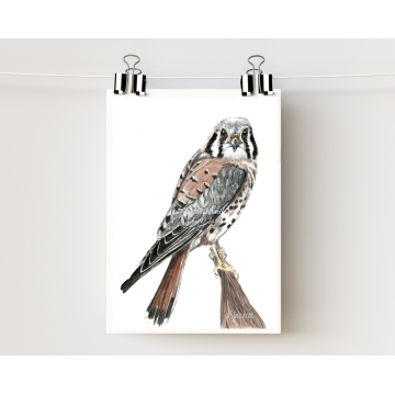 American Kestrel, Sparrow Hawk Watercolor Art Print