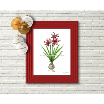 Red Christmas Amaryllis Flower Botanical Watercolor Art Print