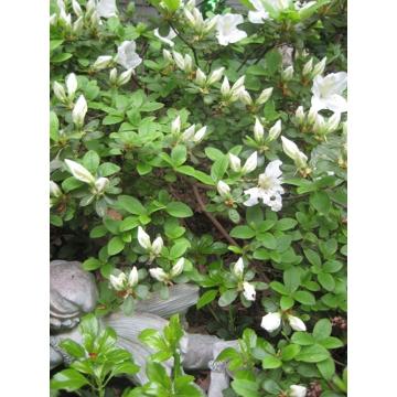 Lovely White Azaleas