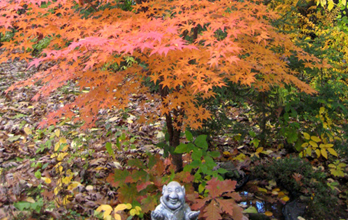 Dwarf Japanese Maple in beautiful fall color